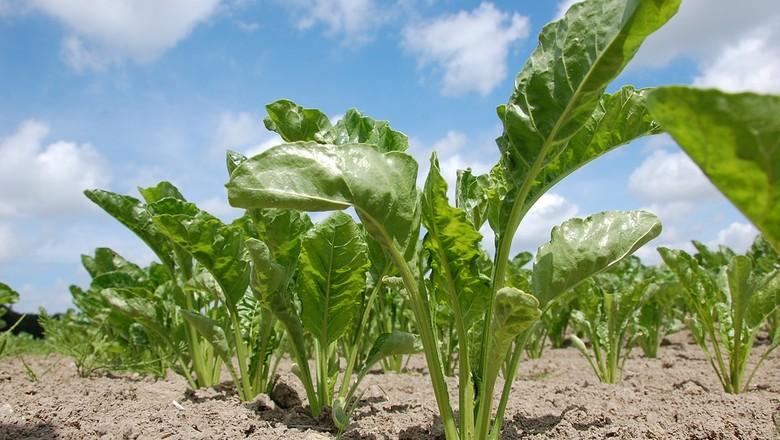 beterraba-acucareira-raiz-terra-agricultura (Foto: Pixabay)