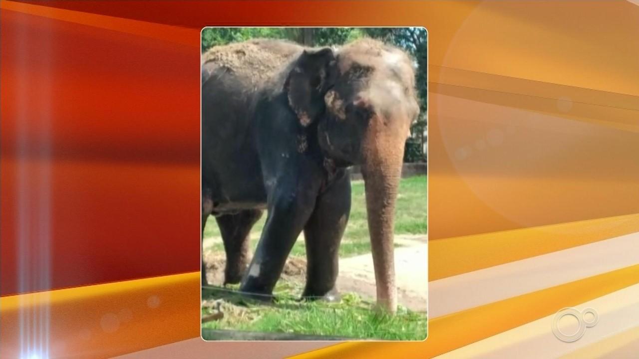 Elefanta Haiza vai ganhar memorial no Parque Chico Mendes em Sorocaba