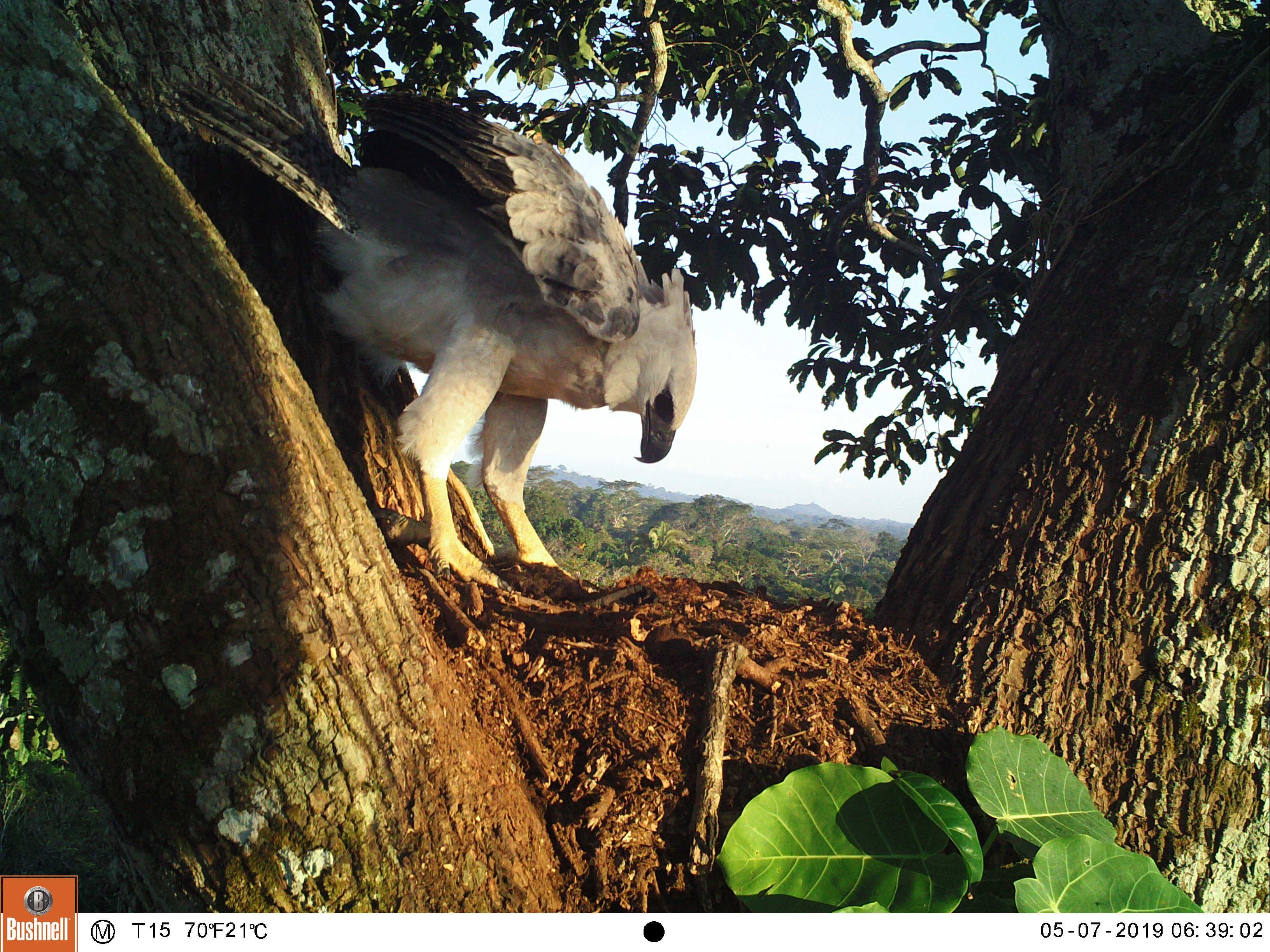 181 harpias mortas, maioria por 'curiosidade': dado bizarro levou pesquisador a apostar no turismo para salvar a maior ave de rapina do Brasil
