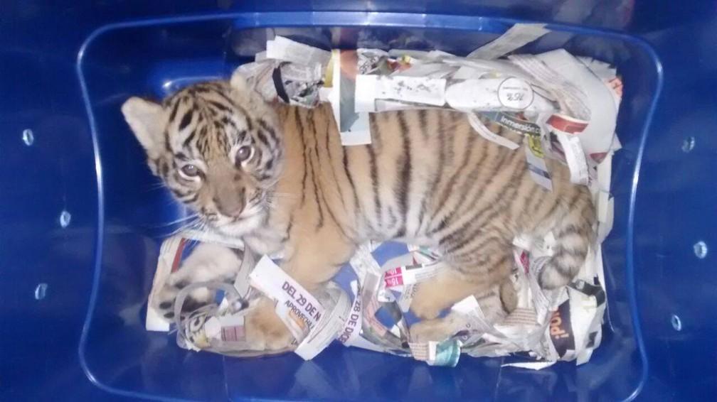 Filhote de tigre é enviado pelo correio expresso no México (Foto: Policía Federal de México/Facebook)