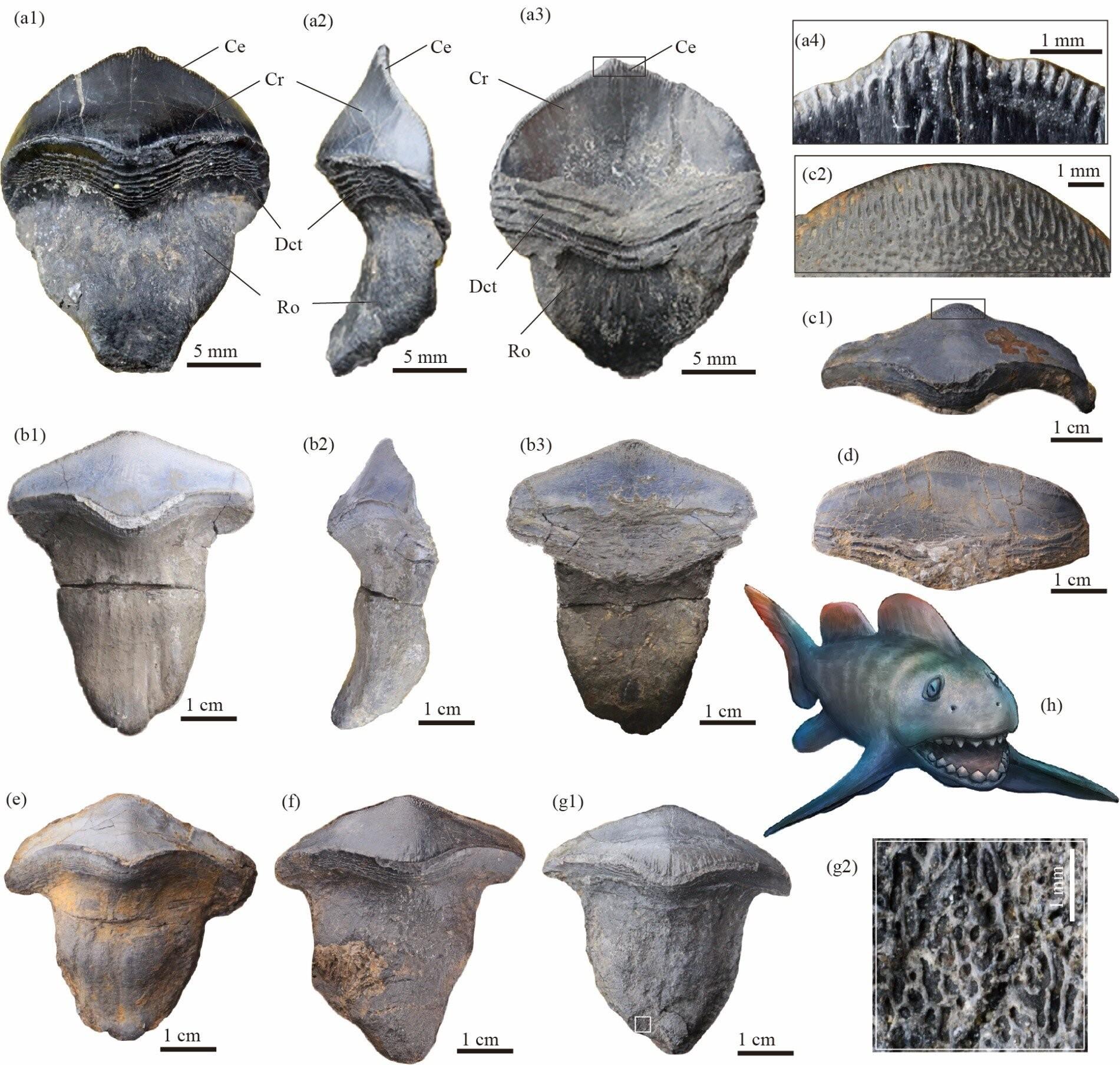 Fotografias e restauração de Petalodus ohioensis (Foto: GAI Zhikun and YANG Dinghua)