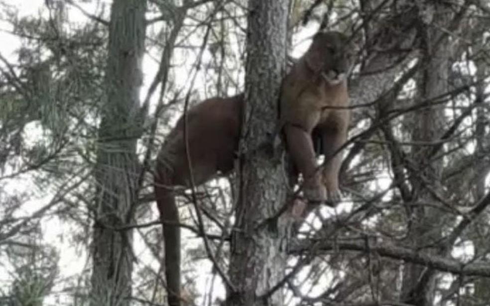 Produtor flagrou leão-baio em árvore no interior de Painel, na Serra Catarinense  — Foto:  Juliano Bertoni?Reprodução