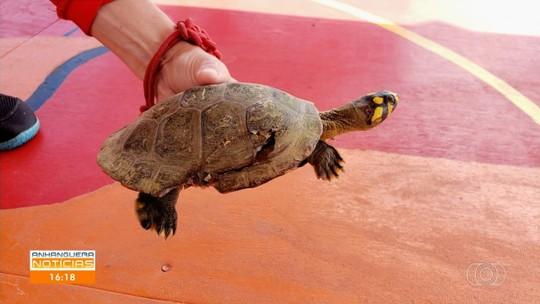 Tartaruga ferida é resgatada na Praia do Cavalo, em Aruanã