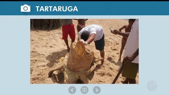 Tartaruga marinha de mais de um metro é achada morta na orla de Camaçari, na BA