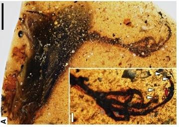 Animal foi encontrado em âmbar que data de 99 milhões de anos atrás (Foto: Lida Xing/Current Biology)