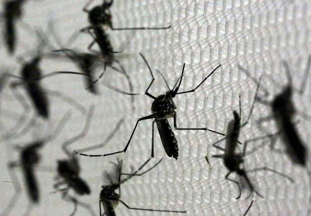 Mosquito Aedes aegypti é transmissor de doenças como dengue, chikungunya e zika (Foto: Paulo Whitaker/REUTERS)