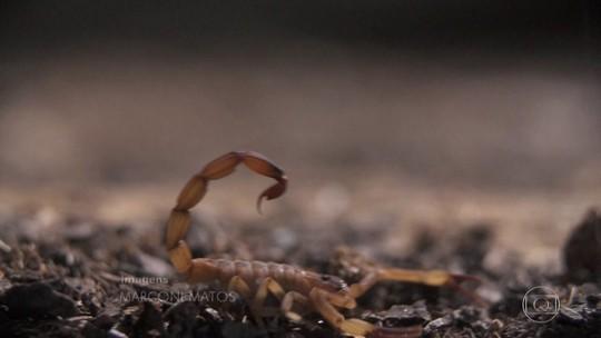 Entenda por que escorpiões aparecem mais no calor
