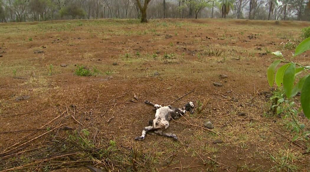 Ativista pede apuração após morte de gado em fazenda bloqueada pela Operação Sevandija - Radio Evangelho Gospel