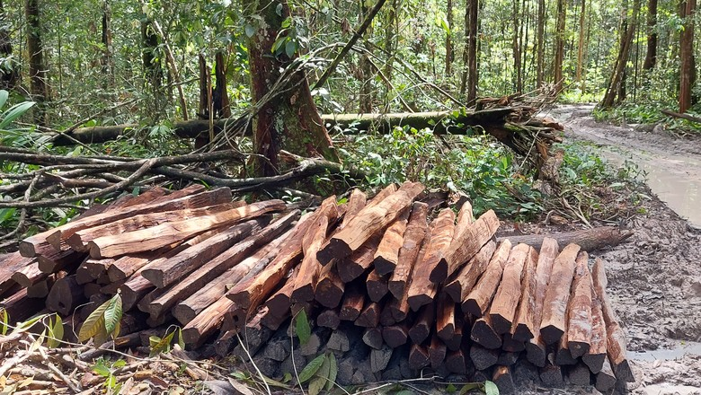 Madeira-acapú-roubo (Foto: Divulgação/Embrapa Amazônia-Oriental)
