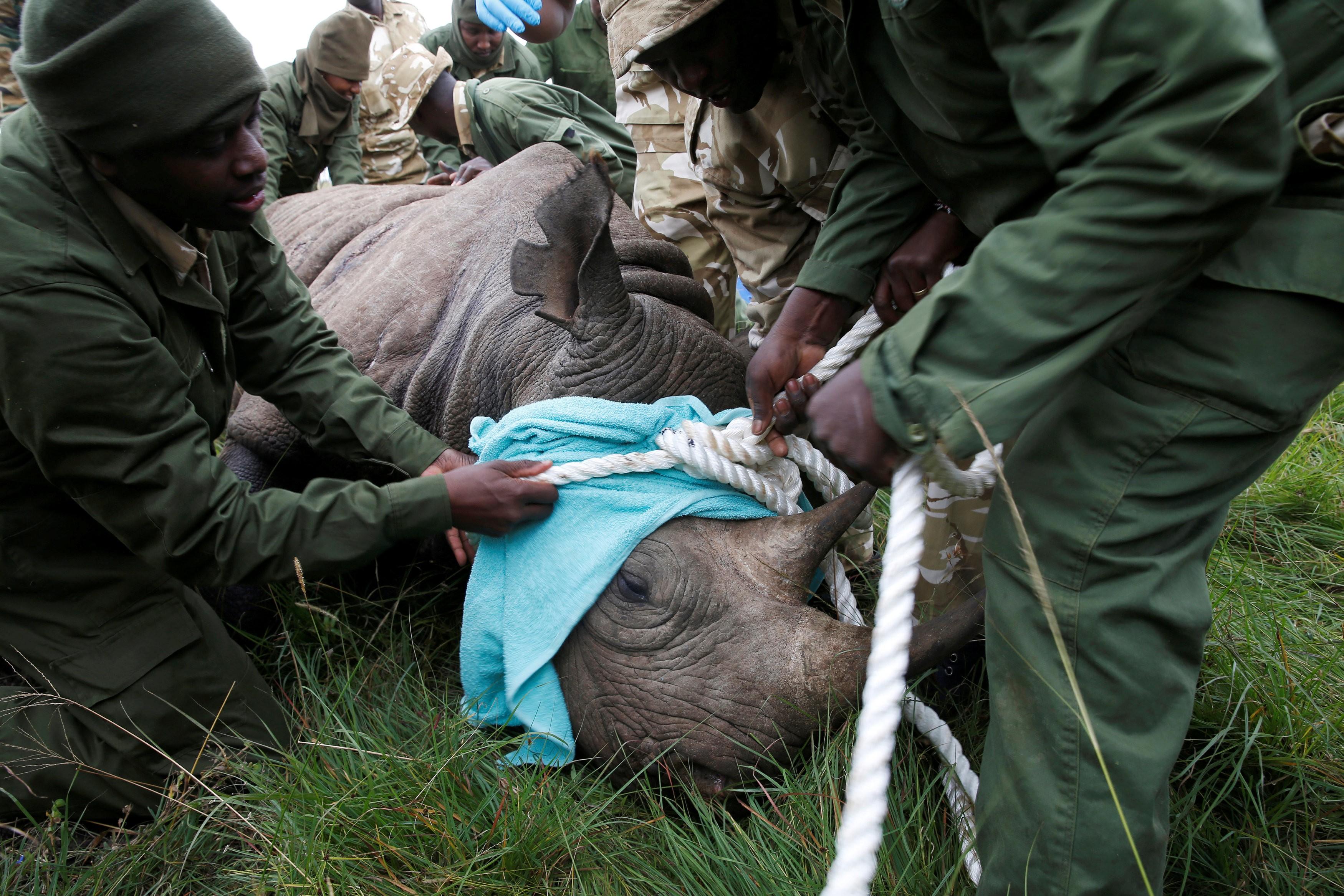 Morre o último dos 11 rinocerontes-negros transferidos a um parque no Quênia