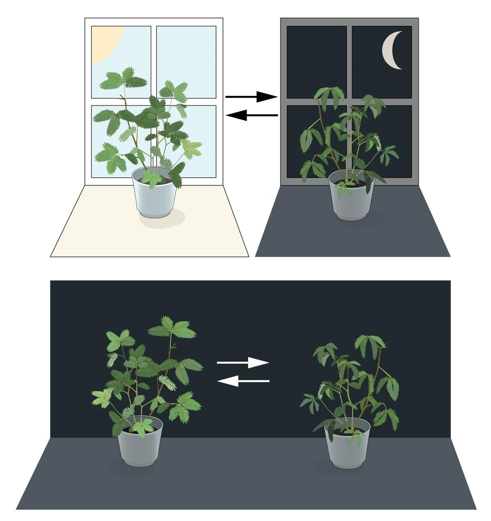 Ilustração demonstra os experimentos do astrônomo Jean Jacques Mairan. Ele demonstrou que as plantas têm um relógio biológico interno (Foto:  Instituto Karolinska)