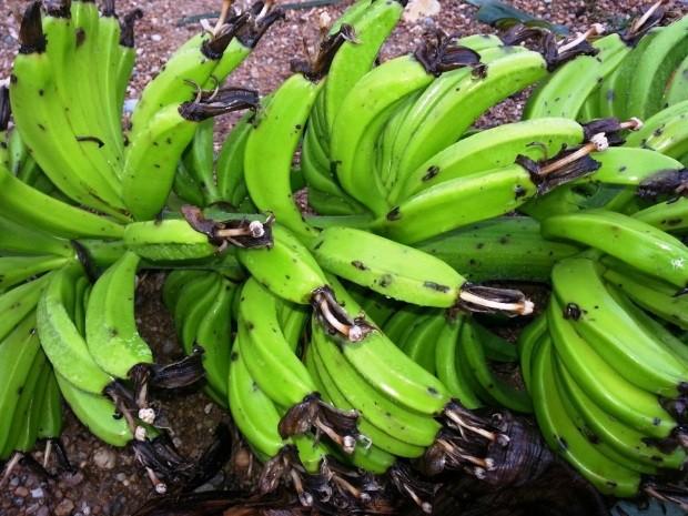 Bananas ficam danificadas após tempestada (Foto: Sindicato Rural do Vale do Ribeira/Divulgação)