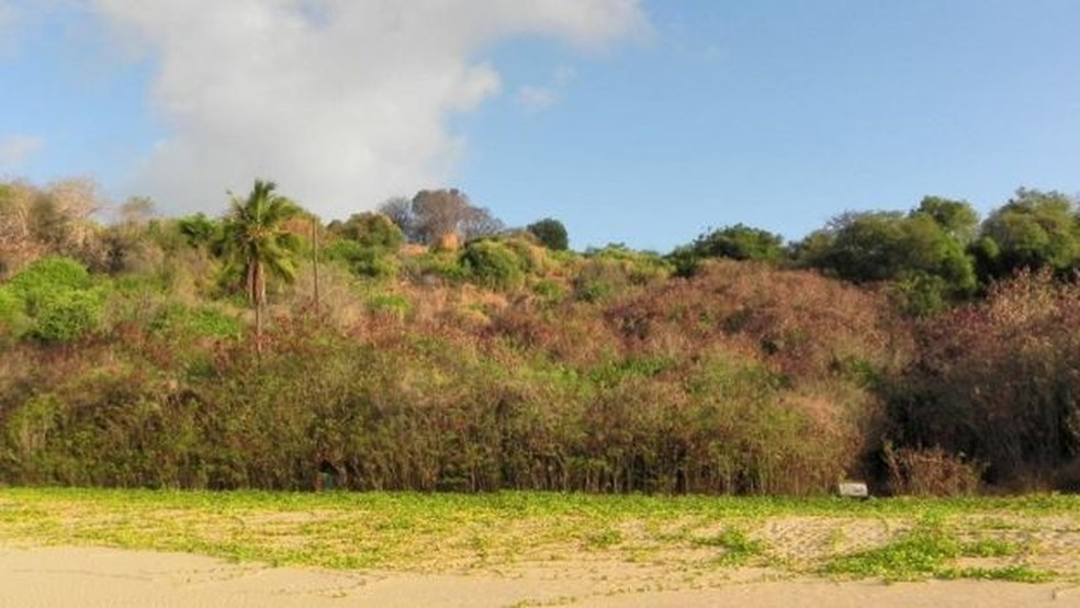 Na praia do Americano, a maior parte da vegetação é dominada pela leucena — Foto: Thayná Mello/BBC
