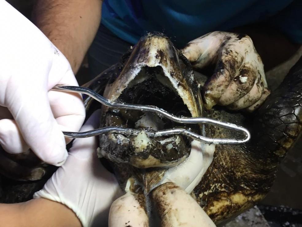 Preocupação é de que tartaruga tenha ingerido grande quantidade de óleo — Foto: Heloísa Guimarães/Inter TV Cabugi
