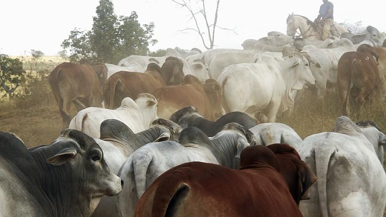 gado brahman  (Foto: Divulgação)