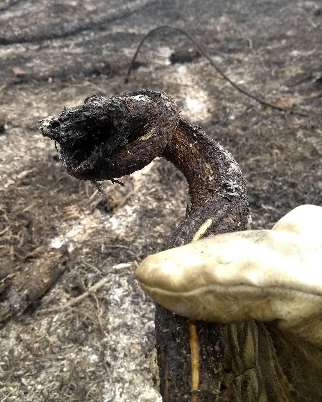 Cobra é encontrada carbonizada durante combate a incêndio florestal na Região Serrana do RJ