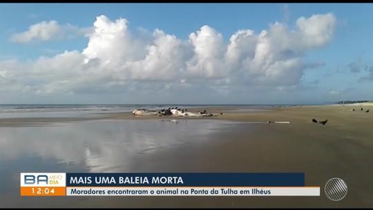 Baleia é achada morta em praia de Ilhéus, no sul da Bahia; número de casos na região sobe para dez