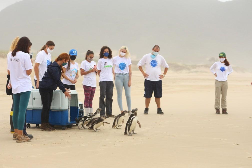 Pinguins foram soltos em Florianópolis nesta sexta-feira — Foto: Nilson Coelho/R3Animal