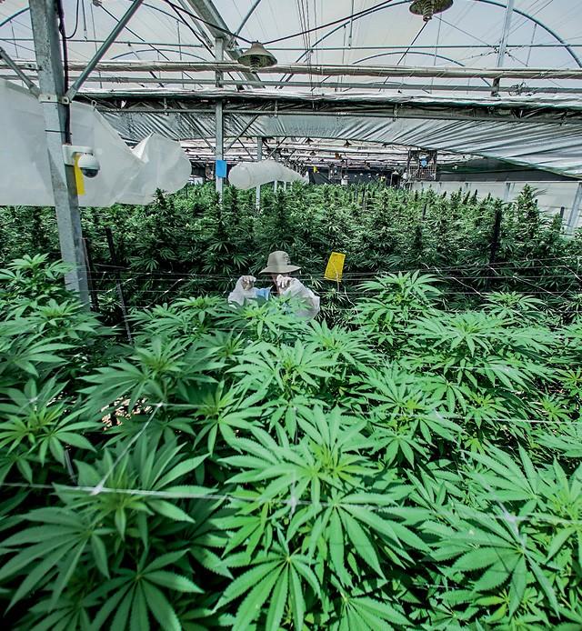 Cannabis (Foto:  )