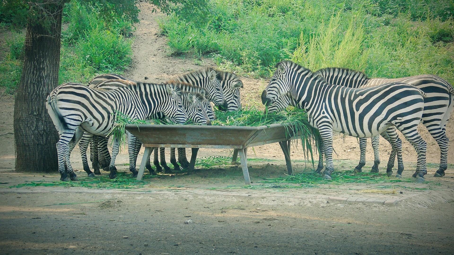 Zebras têm excelente visão e padrões únicos de listras. Elas se juntam em bandos para escapar dos predadores.  (Foto: Pixabay)