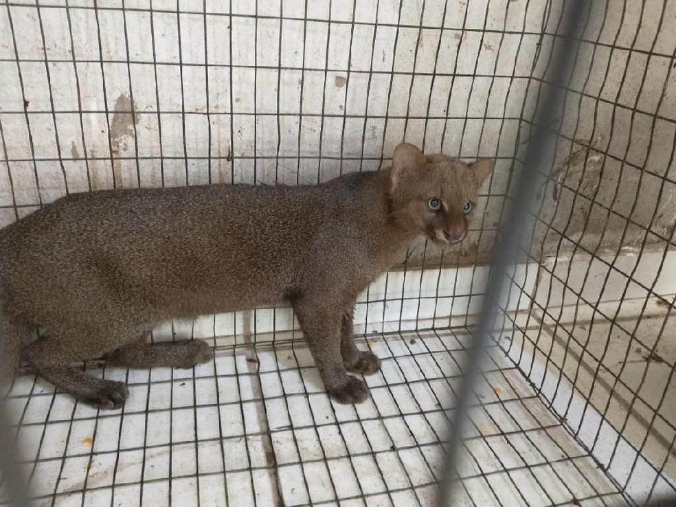 Ameaçado de extinção, gato-mourisco é capturado em creche em Mato Grosso — Foto: Sema/MT