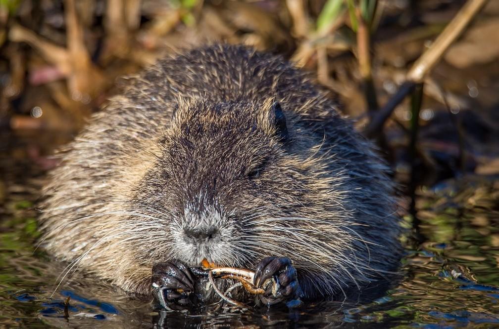 O rato almiscarado é um roedor que consegue encontrar comida durante o inverno sob um metro de gelo e neve — Foto: Pixabay