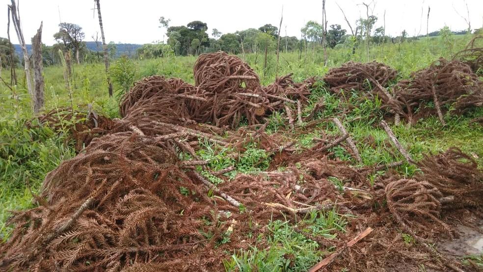 Segundo a polícia, espécies nativas, como Imbuia e Araucária, foram danificadas — Foto: Polícia Ambiental/Divulgação