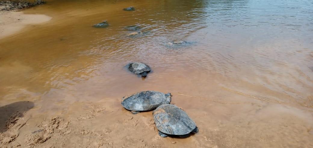 Tartarugas resgatadas em Pernambuco são soltas em reserva em Baião, no Pará