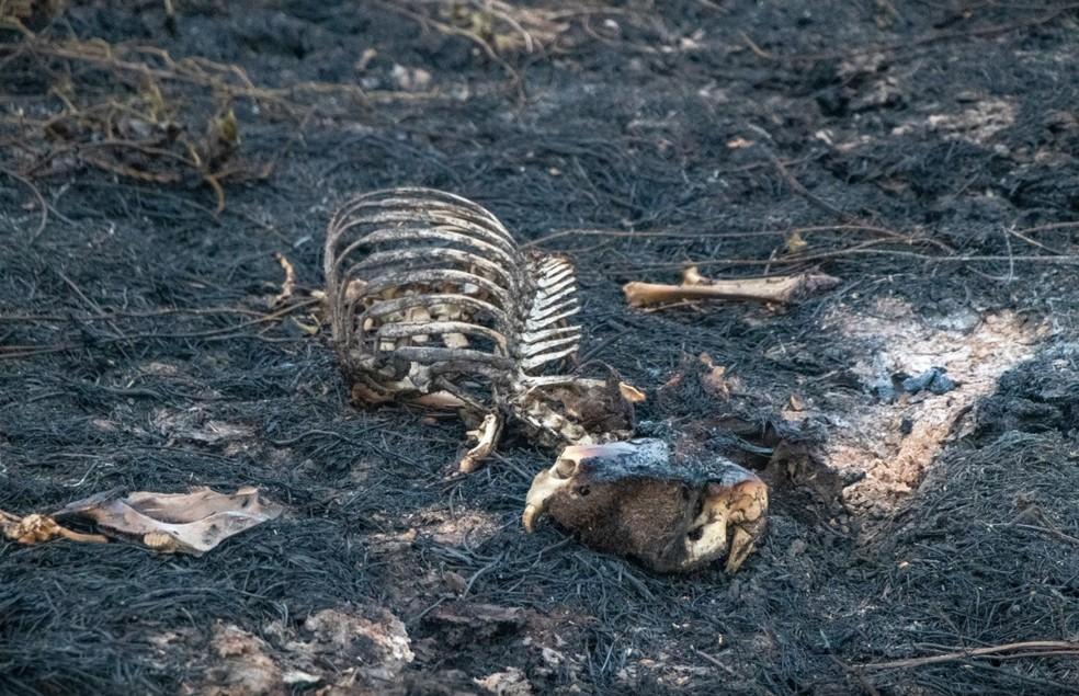 Carcaça de capivara após não conseguir fugir de fogo. — Foto: Silas Ismael/Arquivo Pessoal