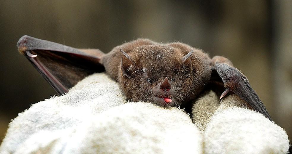 Comer morcegos - como acontece em vários países – é muito perigoso — Foto: Divulgação/Prefeitura de Jundiaí/Arquivo
