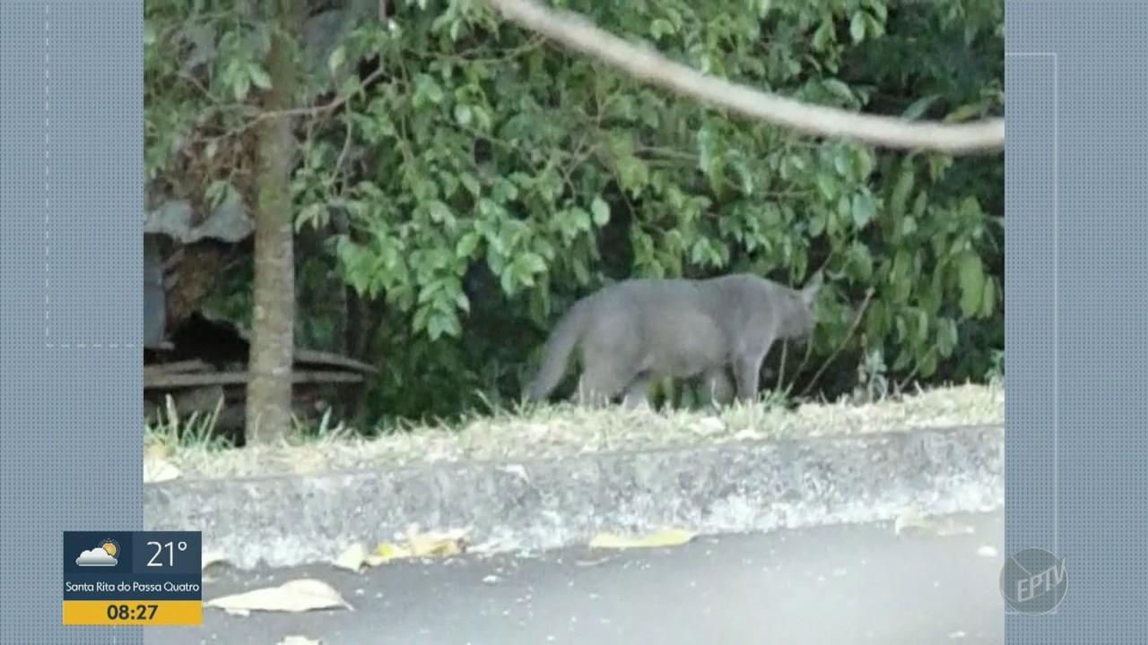 Vídeo flagra felino de grande porte na USP em São Carlos