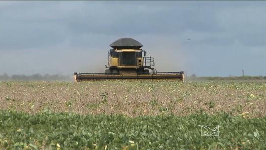 Falta de chuva compromete colheita de soja no sul do Maranhão