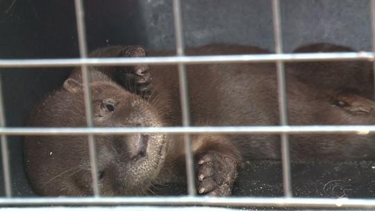Morre lontra encontrada na praia da Barra de Santo Antônio, em Alagoas