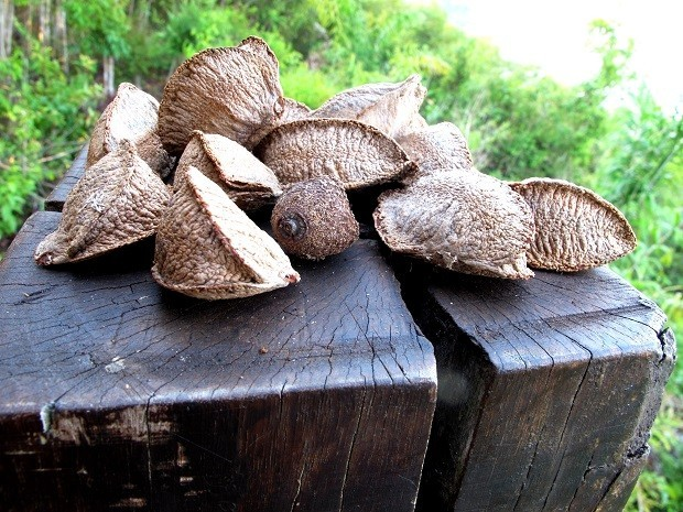 Comer castanha-do-brasil pode melhorar a qualidade do leite materno, diz pesquisa da UFV
