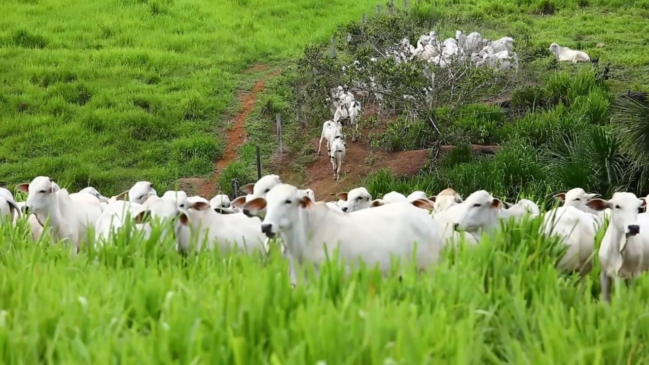 Pecuária sustentável (Foto: Globo Rural)