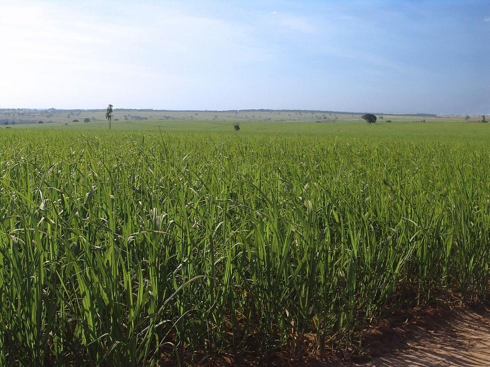 Plantação de cana-de-açúcar, a principal matéria-prima do etanol — Foto: Wikimedia Commons