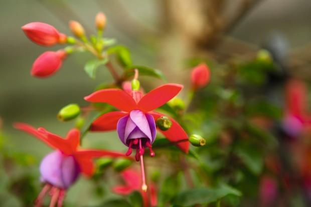 Com suas flores coloridas, a espécie brinco-de-princesa é uma ótima planta pendente (Foto: Divulgação)