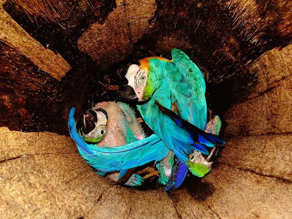 Araras azuis refugiam-se no tronco de buriti em Porto Velho (Foto: Glauko Correa da Silva/Arquivo pessoal)