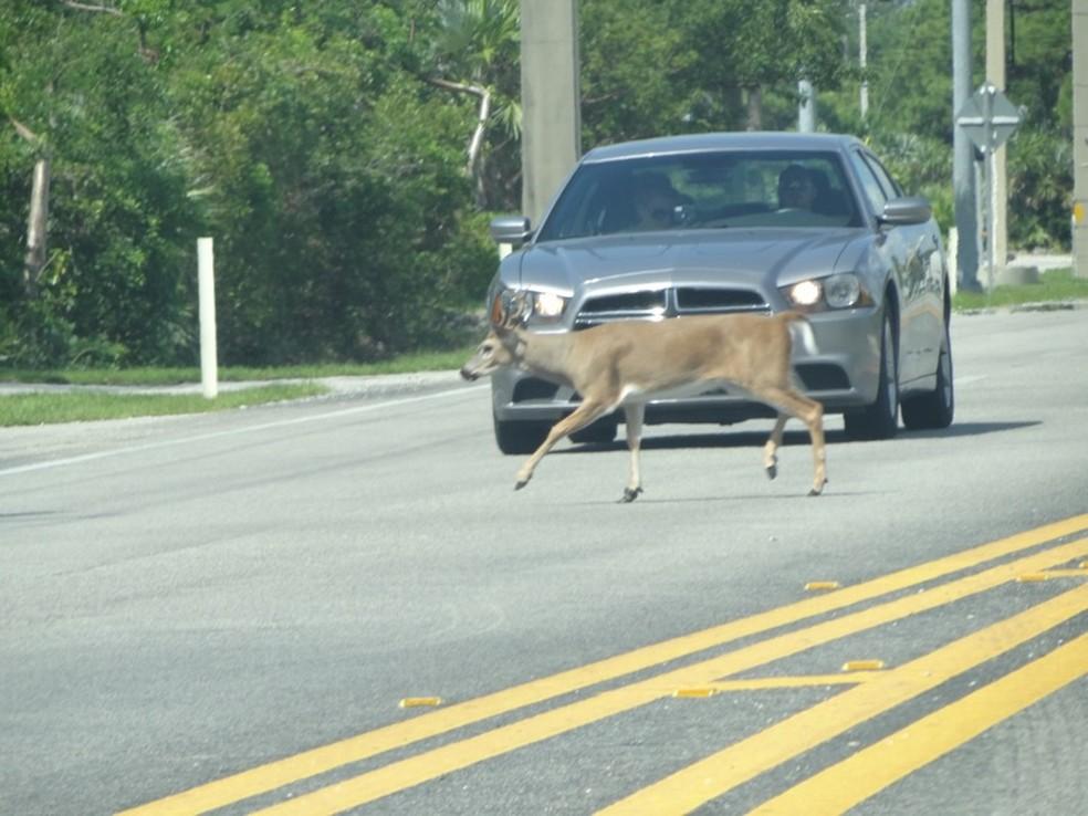 """Pesquisador flagrou cervo atravessando a estrada e um motorista que esperou o animal passar: """"Consciência"""" — Foto: Julio César de Souza/Arquivo pessoal"""