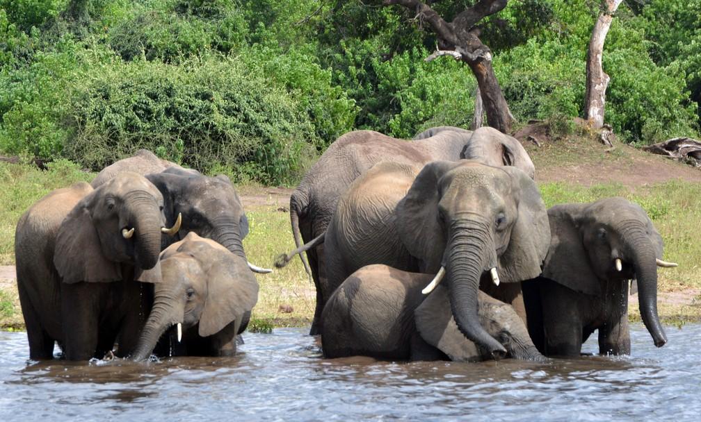 Foto de arquivo mostra elefantes no Parque Nacional de Chobe em Botsuana. (Foto: AP Photo/Charmaine Noronha)