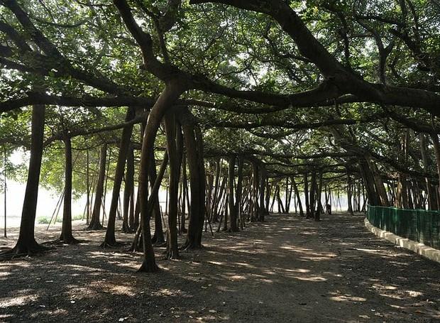 Vista de dentro, você pode passear entre as raízes da árvore (Foto: McKay Savage/ Reprodução)