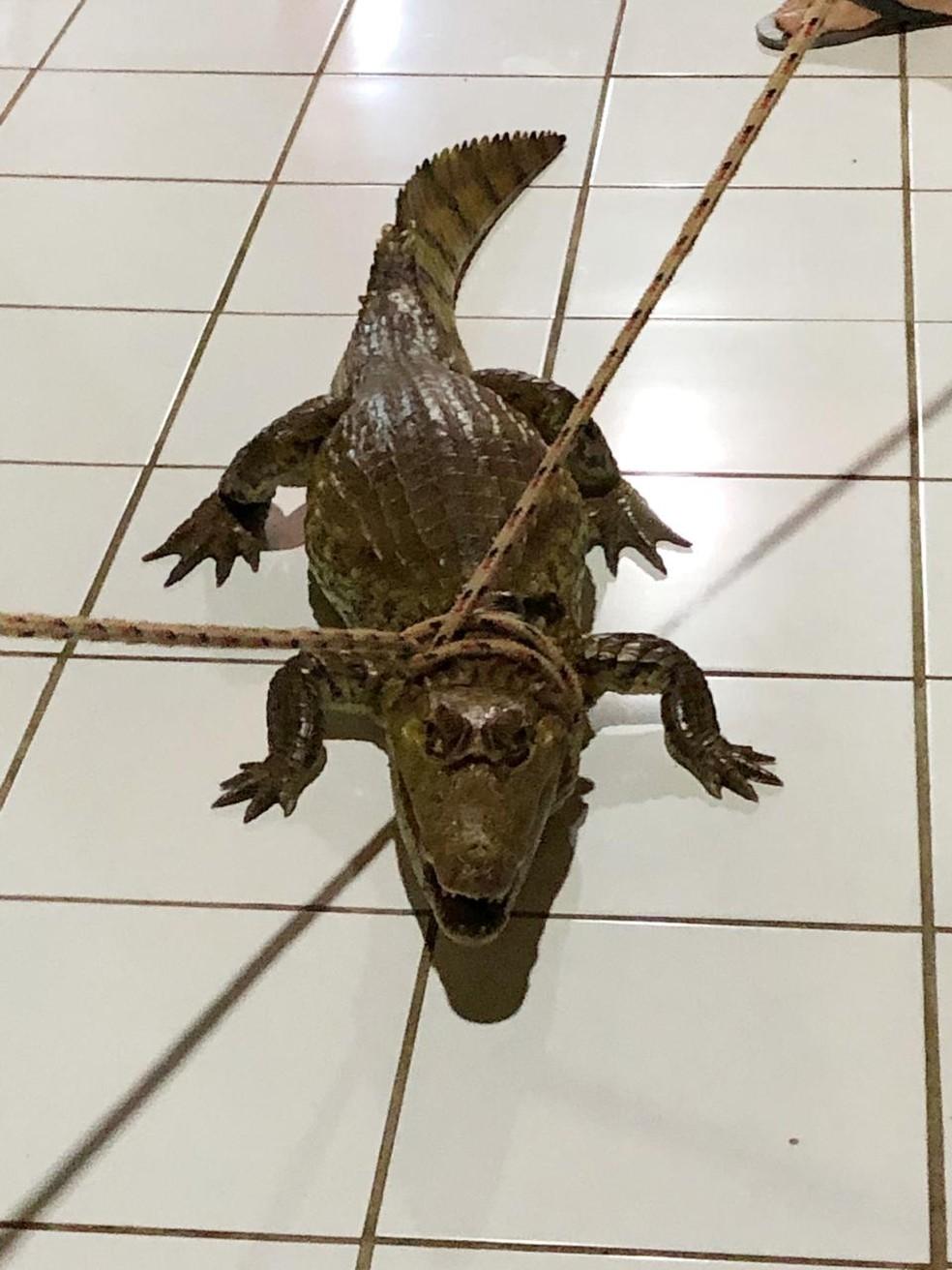 Com ajuda de corda, animal foi imobilizado para ser levado de volta à natureza  — Foto: Arquivo pessoal