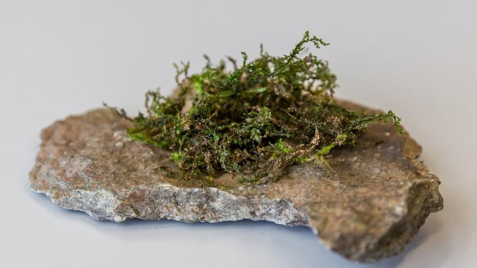 Embora a planta não seja do gênero Cannabis, ela é considerada um canabinoide 'moderadamente potente, mas eficaz', diz pesquisa — Foto: Stefan Fische/Divulgação