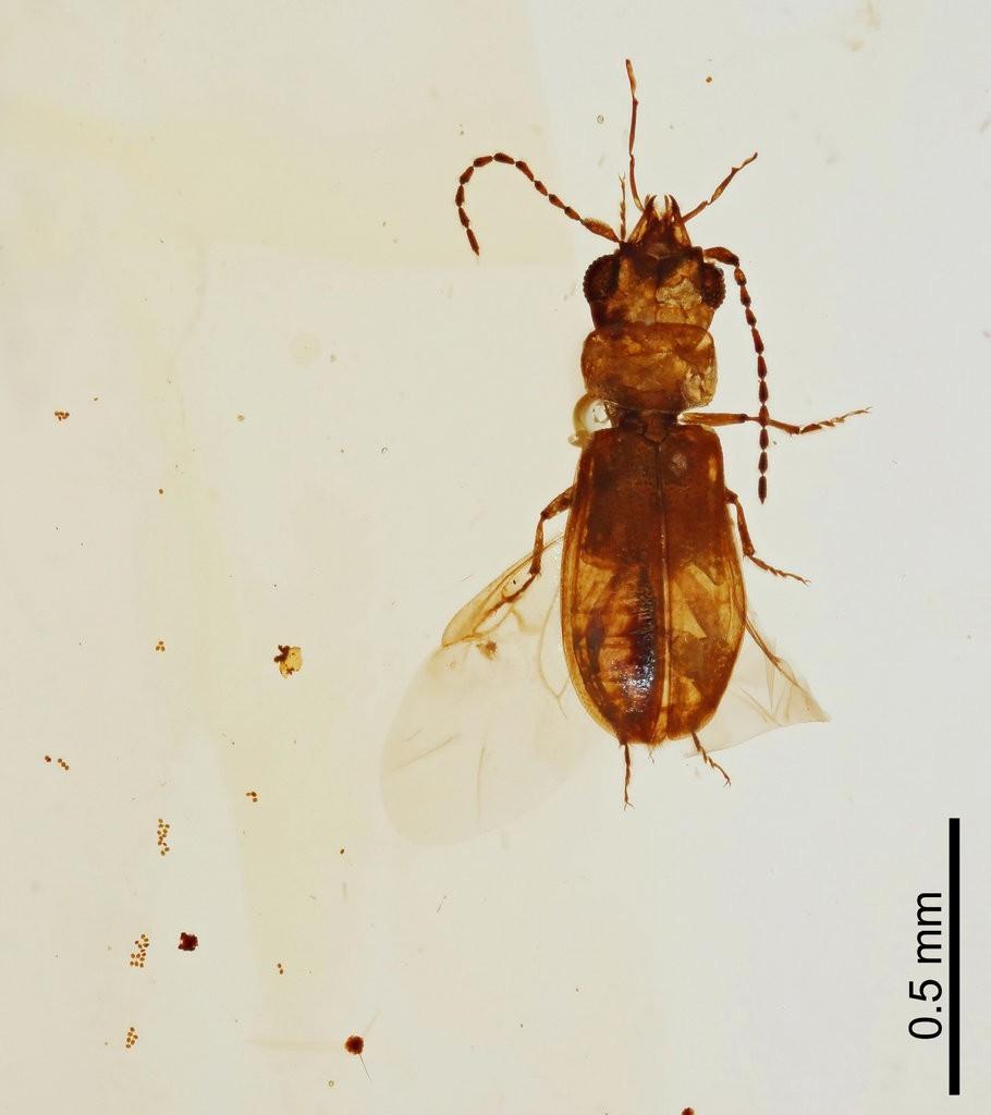 Besouro encontrado em âmbar é minúsculo (Foto: Chenyang Cai)