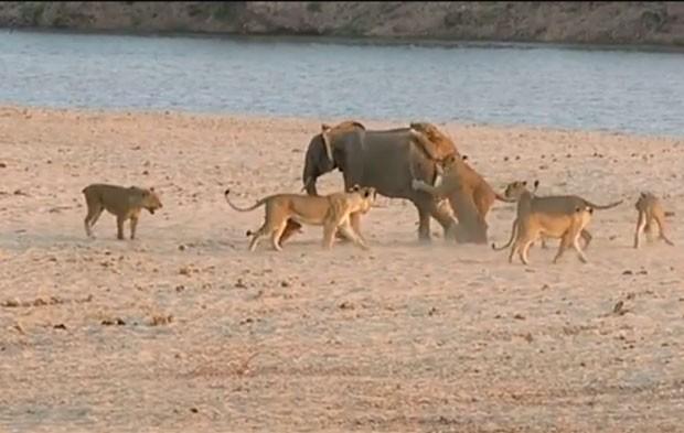 Filhote de elefante sobreviveu a ataque de 14 leões (Foto: Reprodução/YouTube/Norman Carr Safaris)
