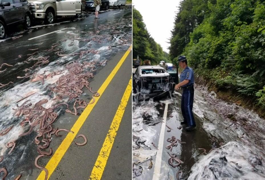 Enguias jogadas em estrada após acidente no Oregon, EUA