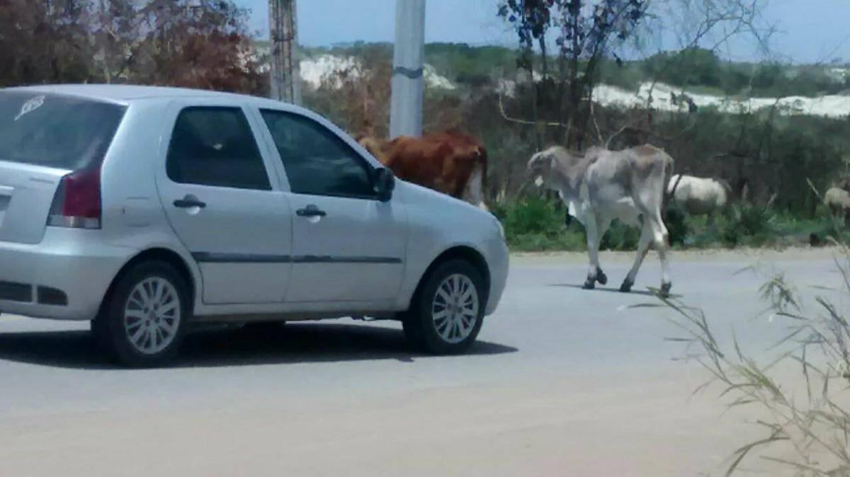 Cavalos e bois são flagrados soltos na Estrada do Guriri, em Cabo Frio, no RJ