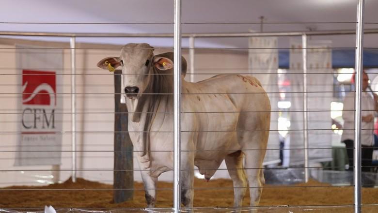 touro-sêmen-corte-boi (Foto: CFM/ Divulgação)