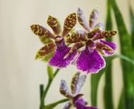 Zygopetalum: o gênero de orquídeas conhecido pelo perfume que exala