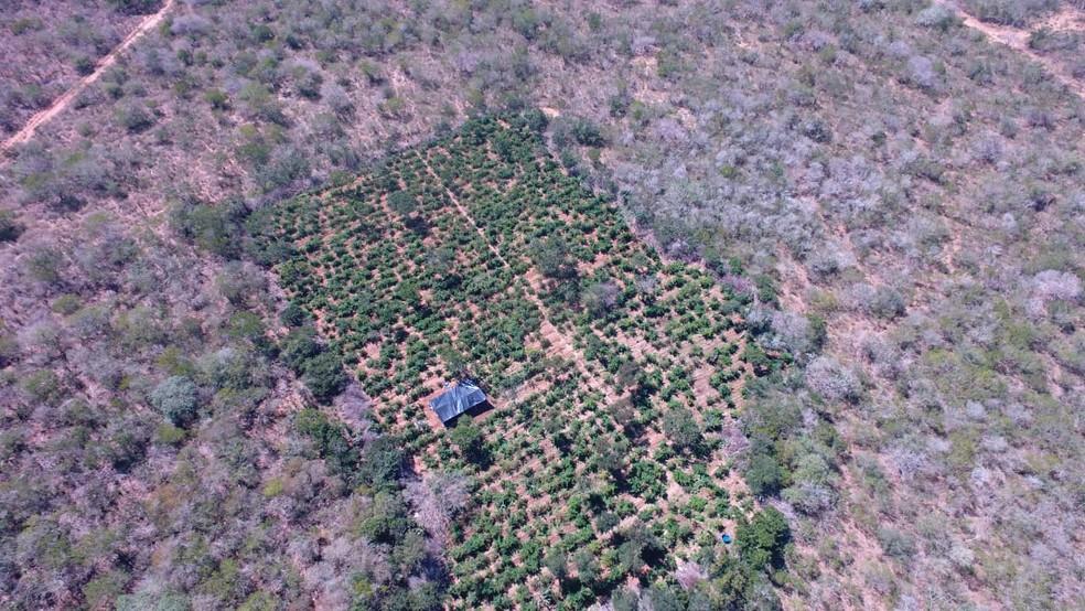 Plantação da droga foi encontrada com a ajuda de um drone — Foto: Divulgação/SSP-BA